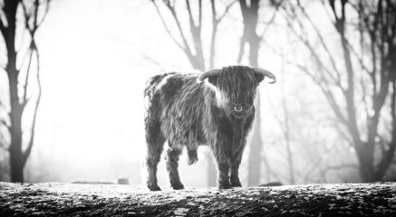 blackandwhite cow nature photography