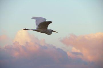 bird egret nature clouds flying