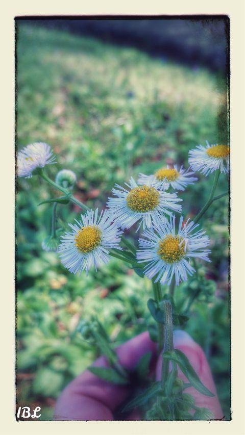 flowers inmyneighborhood bright catseye whiteflowers freetoedit