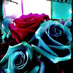 roses colorburn border blue pink