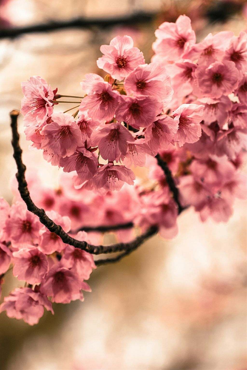 Bokeh Colorful Cute Cherryblossom Beautiful Flower Spr