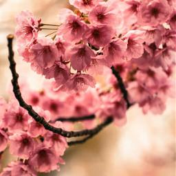 bokeh colorful cute 桜 cherryblossom